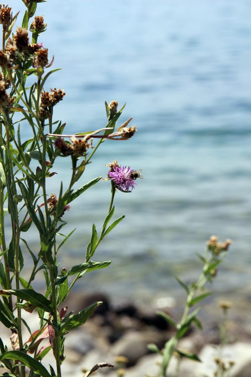 Blumen und Hummel am Bodensee