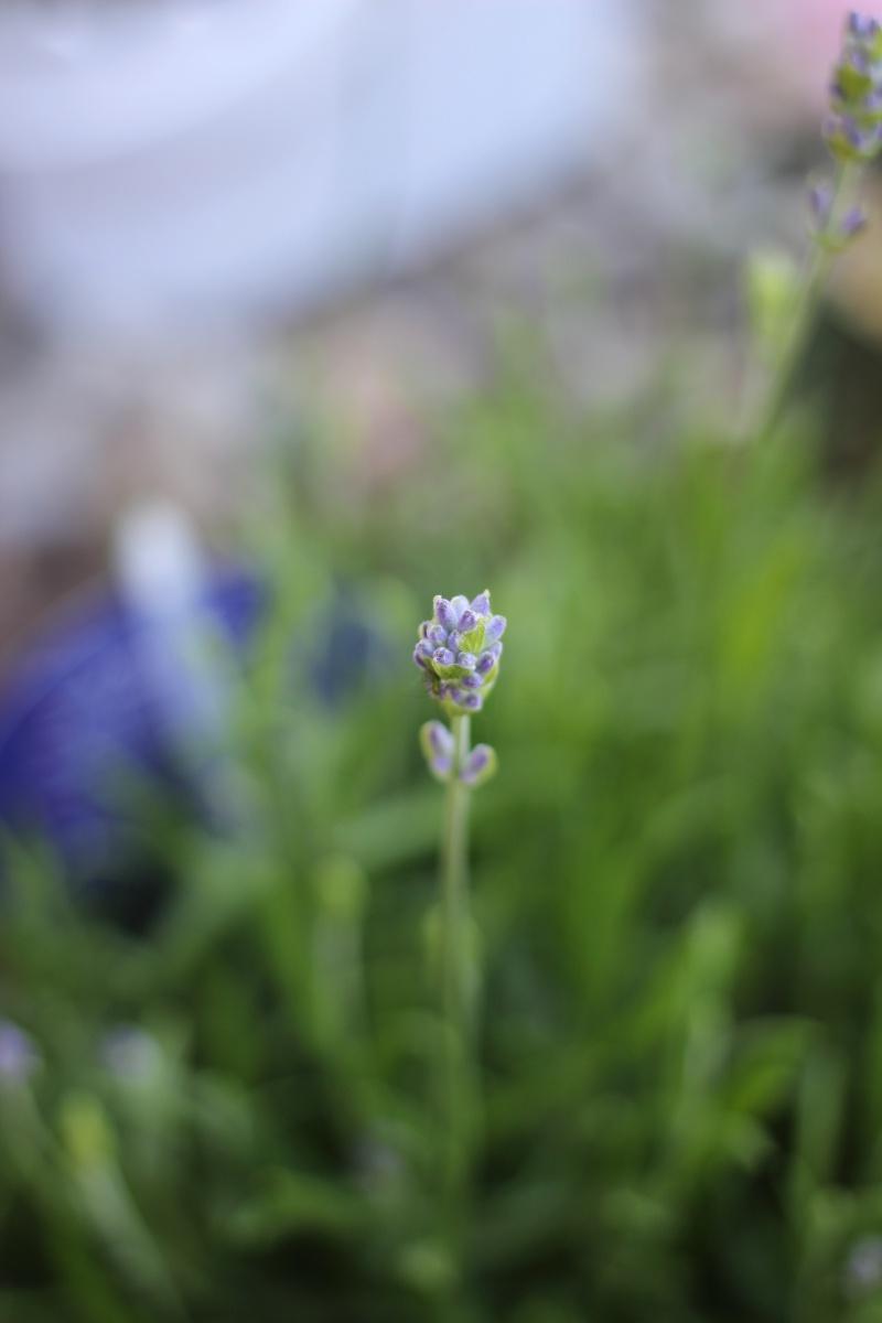 About my week Lavendel