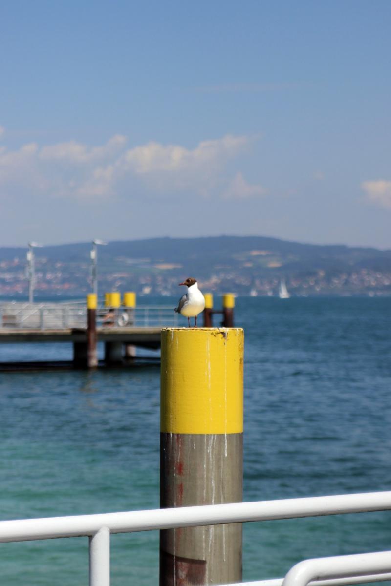 Möwe am Bodensee