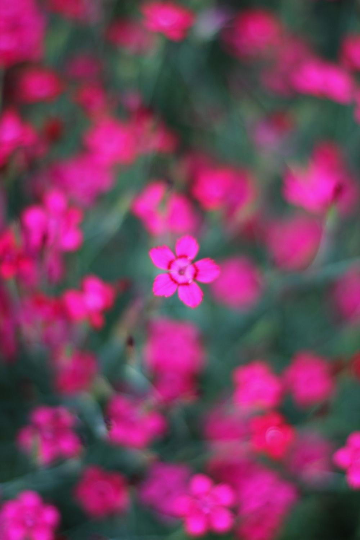 Landesgartenschau Würzburg_pinke Blumen