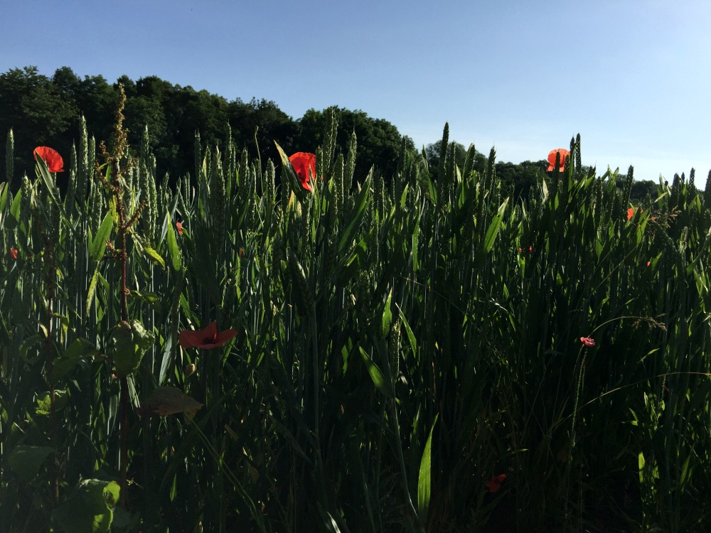 Getreidefelder an Rande meiner Joggingstrecke