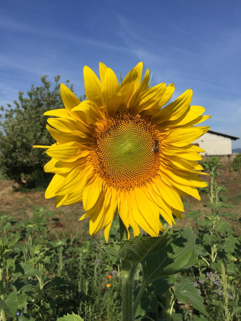 Sonnenblumen in voller Pracht