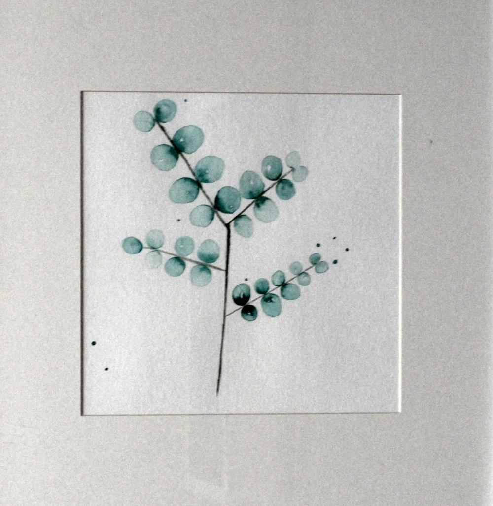 Eukalyptus mayandberry
