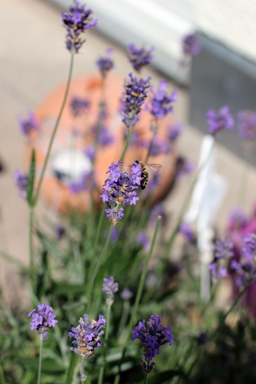 Lavendel mit Insekten