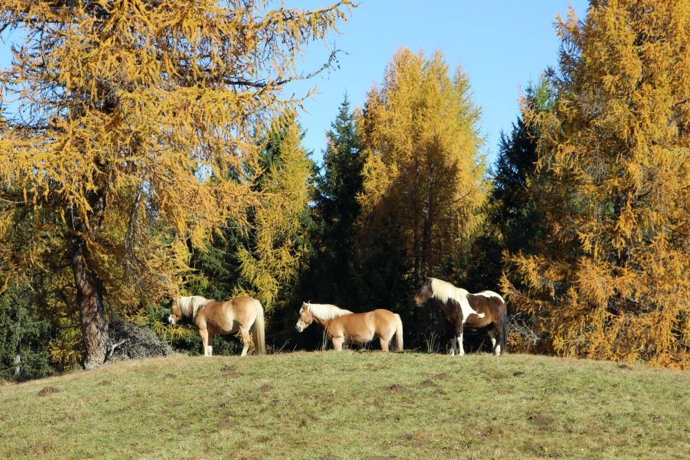 Pferde auf der Seiser Alm