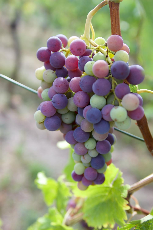 Herbst 2020_Weintrauben